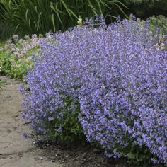 Nepeta Purrsian Blue - Chataire