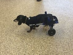 Keebler, an 8-year-old daschund, loves ear scratches and treats, but now what sets him apart, is the way he gets around.