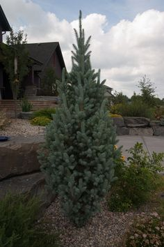 Columnar spruce: zone:3. H:10-20' W:5-10'. Full sun. Steel blue fat cigar look, perfect blue sentinel accent. Can be used as substitutes for columnar Junipers. Blue new growth turns silvery-blue with age. A truly unique specimen that provides year round garden interest. Slow growing and very low maintenance. Great for confined spaces or as a screen. Introduced by Iseli Nursery.