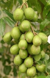 June Plum - June Plum is a fast growing tree that produces fruit in less than one year. The fruit will be ripe around Summer and can be eaten...