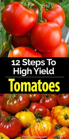 Producing crops of high yield tomatoes, heirloom, indeterminate or determinate, what tomatoes need, growing tips, nutrients, pests, mulch [Learn More]