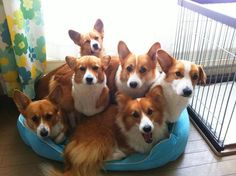 How can you not want a Corgi after seeing this picture. :) Tumblr