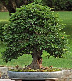 Bonsai Trees Gardening Tips Pre Bonsai, Indoor Bonsai, Bonsai Plants, Bonsai Garden, Garden Trees, Trees To Plant, Succulents Garden, Cactus Plants, Gardening For Beginners