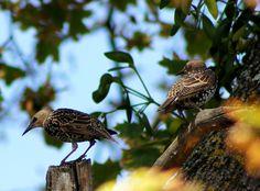 Starlings (Sturnus vulgaris)  Seregélyek