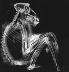 File:X-Ray Scan van een baviaan Structure Of Bone, Blueprint Art, Baboon, Drawing Challenge, Animals Images, Orangutan, Black And White Photography, Pet Birds, Photo Art