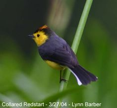 The Collared Whitestart or Collared Redstart (Myioborus torquatus) is a tropical New World warbler endemic to the mountains of Costa Rica and western Panama.