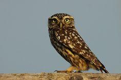 Athene noctua - Mocho galego/Little Owl (by António A Gonçalves)