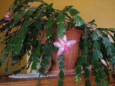 Christmas cactus on pinterest christmas cactus cactus and red
