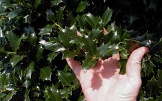 An introduction from the Southern Living Plant Collection, the Robin™  is a tall-growing pyramidal Holly producing handsome, dark blue-green leaves that emerge a burgundy color before maturing to rich green.