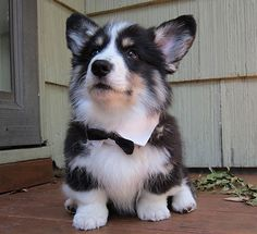 Corgi/husky mix (nope-just a fluffy with heavy bone structure! Next dog. But it must come with the bow tie Husky Corgi Mix Puppies, Corgi Dog, Cute Puppies, Cute Dogs, Dogs And Puppies, Beautiful Dogs, Animals Beautiful, Cute Baby Animals, Animals And Pets