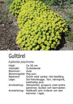 Euphorbia polychroma - Gulltörel Stepping Stones, The Outsiders, Garden, Outdoor Decor, Stair Risers, Lawn And Garden, Gardens, Outdoor, Tuin