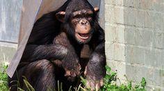 In Zoos dagegen legen Schimpansen ein völlig anderes Verhalten an den Tag. Viele dieser Menschenaffen in Gefangenschaft sind Rechtshänder. Forscher nehmen an, dass dies kein normales Verhalten ist. Sie argumentierten, die Tiere hätten sich diese Vorliebe vermutlich von ihren meist rechtshändigen Pflegern abgeschaut. Affen und andere Gruppentiere orientieren sich bei Verhaltensweisen sehr stark am Vorbild der Leittiere oder in diesem Fall des Pflegers.