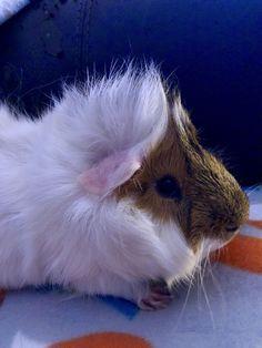~Rupert~ My guinea pig