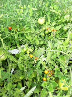 and more cherry tomatoes! 7-28-13
