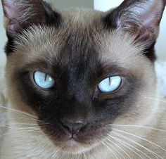Seal point Siamese. This is just what my adored Bushiko looked like. Lord, but how I miss her!