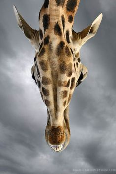 The animals sometimes came very close to us, as did this giraffe. Dark rain clouds were forming overhead, which I thought would make a great backdrop for the warmer colors of the giraffe. Nature Animals, Animals And Pets, Beautiful Creatures, Animals Beautiful, Photo Animaliere, Giraffe Art, Giraffe Head, Mundo Animal, African Animals