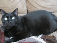 Lost: Pure Black 18 pound Cat...from Kentwood. This cat has both a tattoo and Micro Chip and has been missing since June 11. If anyone thinks they may have seen him, please call me at (587)377-2757, or (403)347-4967. He is loved and missed so much by his family. Thanks.