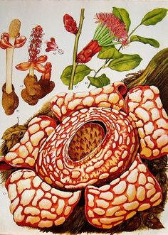 Carrion flower Haha show Mom, she'll know what I'm talking about - Rafflesia!