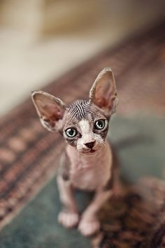 """Serena Hodson (aka Serenah), the photographer known for her adorable pet portraits (see here and here), has taken some fascinating photos of the Sphynx. She sums the breed up perfectly with this line, """"I know these cats are confronting but I think they are also so intriguing."""""""