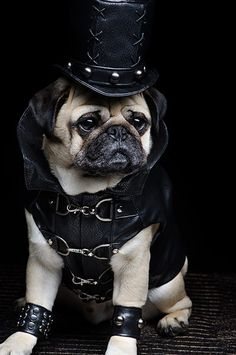 funny pugs info is available on our web pages. Read more and you wont be sorry you did. Pugs In Costume, Dog Halloween Costumes, Pet Costumes, Woman Costumes, Couple Costumes, Pirate Costumes, Group Costumes, Couple Halloween, Adult Costumes