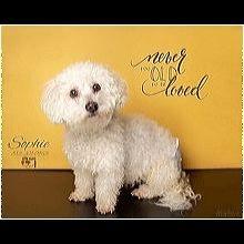 ― Bichon Frise Rescue ― ADOPTIONS Bichon Frise Rescue, Post Animal, Shelter, Adoption, Teddy Bear, Dogs, Shirt, Animales, Foster Care Adoption
