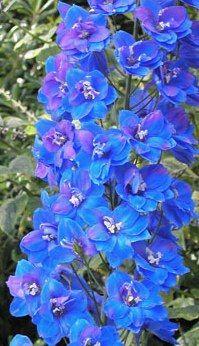 blue! delphinum