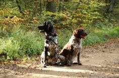 """Large Munsterlander Daily Dog: """"Large or Small Munsterlander?"""""""