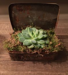 Echeveria in vintage tin . My favorite piece so far...