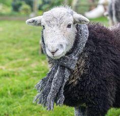 .festive sheep