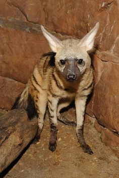 Aardwolf - the most adorable animal I hadn't heard about until recently.