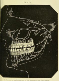 Fig. 17. Diagram of the distribution of the branches of the fifth nerve.A manual of dental anatomy : human and comparative. 1889.