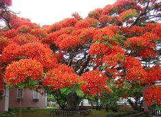 Flamboyant Tree (Brazil)  The aptly named flamboyant tree's branches explode in bright red flowers. Though native to Madagascar, this tropical tree grows in any area with a warm enough climate.