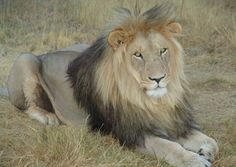 Lion in Shelanti, Limpopo, South Africa