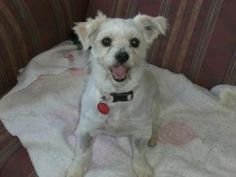 Joey is an adoptable West Highland White Terrier Westie Dog in Toronto, ON. this is the sweetest dog he's about 4-5 years old gentle, good with other dogs, a tad shy with new people but not a major is...