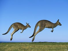 Global Gallery 'Eastern Grey Kangaroo Two Adults Hopping, Murramarang National Park, New South Wales' Framed Photographic Print Size: Kangaroo Jumps, Animals Images, Animals And Pets, Cute Animals, Strange Animals, Animal Fun, Unusual Animals, Animal Facts, Baby Bjorn