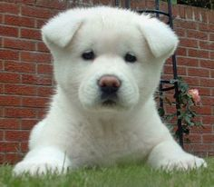 the AKITA-  not only is it an adorable puppy and adult, they are loyal, intellegent, couragous, and dedicated.