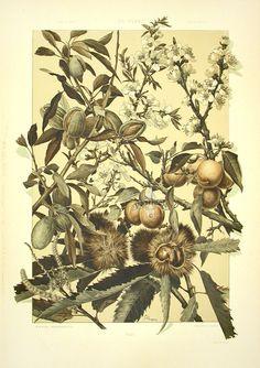 """Chestnut"" from Anton Seder Die Pflanze Art Nouveau Prints 1890"
