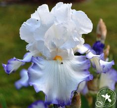 """'Queen's Circle' (Frederick Kerr, R. 1999). Seedling 930401. TB, 32"""" (81 cm). Midseason to late bloom. Standards white; falls white, dark blue edge; beards orange red, pale yellow at end. 'Victoria Circle' X 'Christiana Baker'. Rainbow Acres 2000. Honorable Mention 2002; Award of Merit 2004; Franklin Cook Cup 2005; Wister Medal 2006; American Dykes Medal 2007. #2 in 2010TB Symposium"""