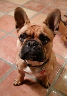 Louie @ 10 mos Fawn French Bulldog