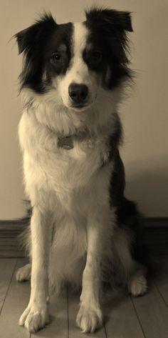 Red Tri Australian Shepherd, Dogs, Animals, Aussie Shepherd, Animales, Animaux, Pet Dogs, Doggies, Animal