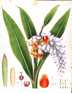 The Donald Angus Collection of botanical prints | University of Hawaii at Manoa Library