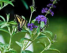 A gorgeous Western Tiger Swallowtail butterfly...