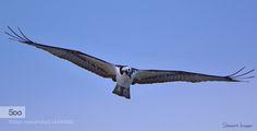 Silent Pursuit - Pinned by Mak Khalaf Osprey searching for prey on the Florida coast. Animals animalanimalsbirdbird of preybirdsflightflyinghawknatureospreyoutdoorsraptorskywildwildlife by bkstewart7