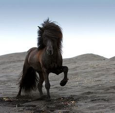 This is an Icelandic horse on a black beach. Photo taken by Ragnar Th.
