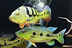 Tropical Freshwater Fish, Freshwater Aquarium Fish, Tropical Fish, Rainforest Creatures, Sea Creatures, Zoo Animals, Animals And Pets, Peacock Bass, Dragon Fish