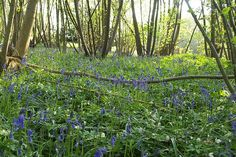 Fantastic website about coppicing, a way to grow thin, sturdy, straight trees to harvest for building while leaving the majority of your woodlands uncut.  Practiced for centuries!