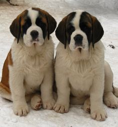 St. Bernard Puppies .  Boy would I love to have these beautiful dogs.    So gentle