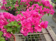 Bunga Kertas Anda Ingin Cepat Tumbuh !! Ini Panduan Menanamnya - http://www.ruangtani.com/cara-menanam-bunga-kertas/