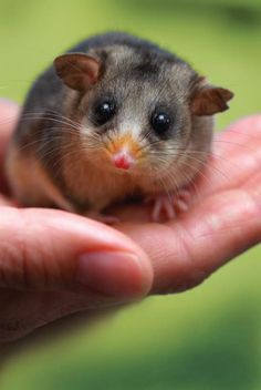 Visit Healesville Sanctuary's new Fighting Extinction Headquarters these school holidays to discover how to help animals such as this cute little Mountain Pygmy-possum. In this new interactive experience you will be briefed on a secret mission to help save wildlife. Are you up for the challenge?  Opens 29 March. Visit our website for more details http://www.zoo.org.au/healesville/whats-on/calling-all-extinction-fighters