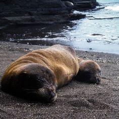 Two adorable sea lion cubs resting :) #sealion #galapagos #ecuador #sealions #adorable #nature #naturelovers #galapagosislands #animals #wildlife #wildlifephotography #animal #beach #amazing #picoftheday #water #southamerica